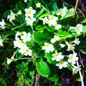 Foraging courses - wild food walks - Spring edible flowers - Primroses.
