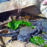Coastal foraging for crabs and seaweed on a seashore forage and cook course