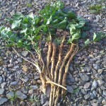 Wild Parsnips found on a coastal foraging course
