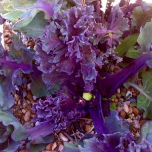 Forage and cook Coastal plants course. Seakale foraging coastal vegetables