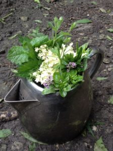 Wild medicine plants to make a herbal tea on a wild medicine course